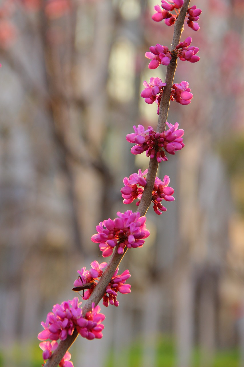 a string of purple flowers redbud flower free photo
