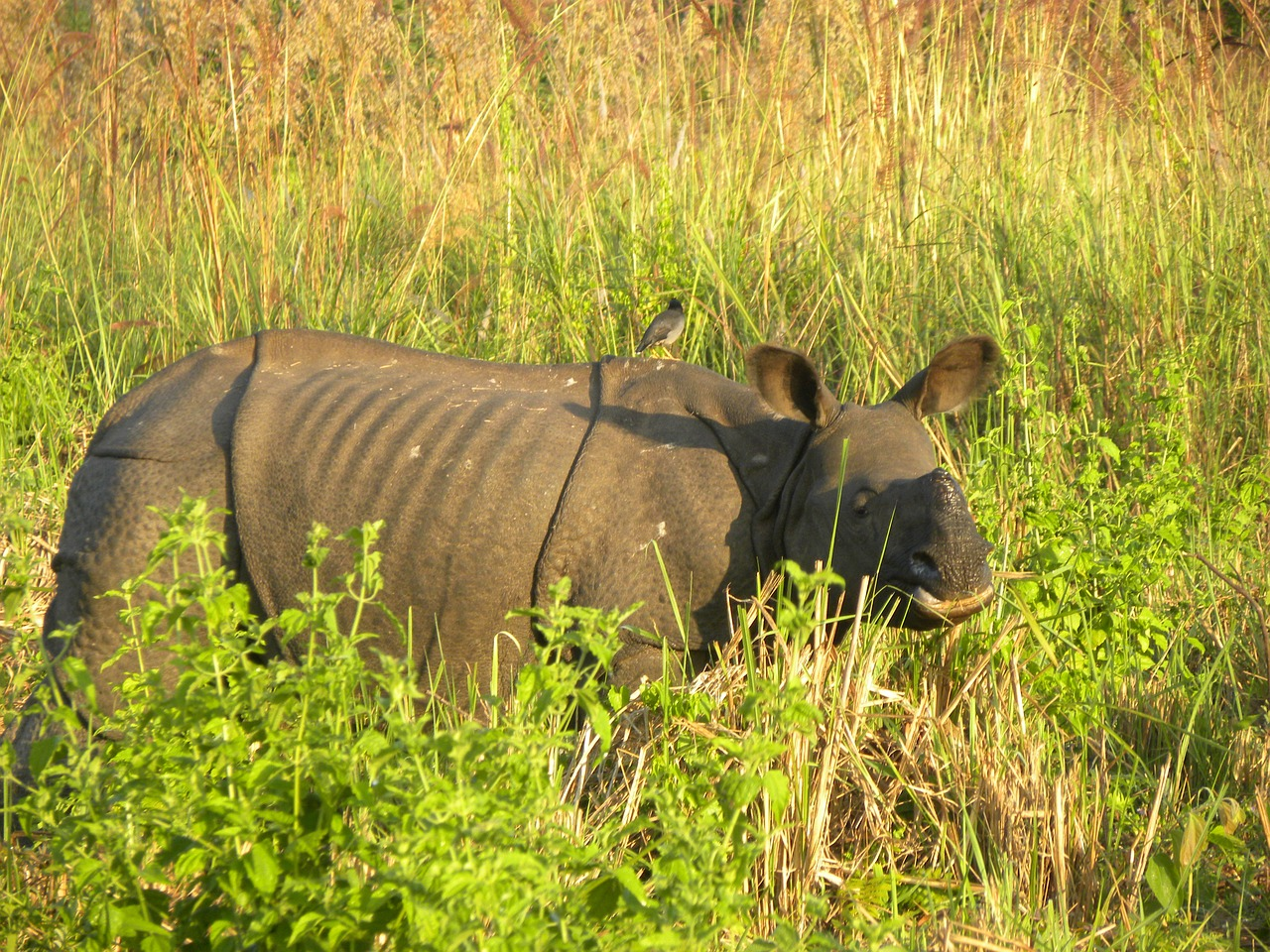 a sub-adult male indian rhino manas national park free photo