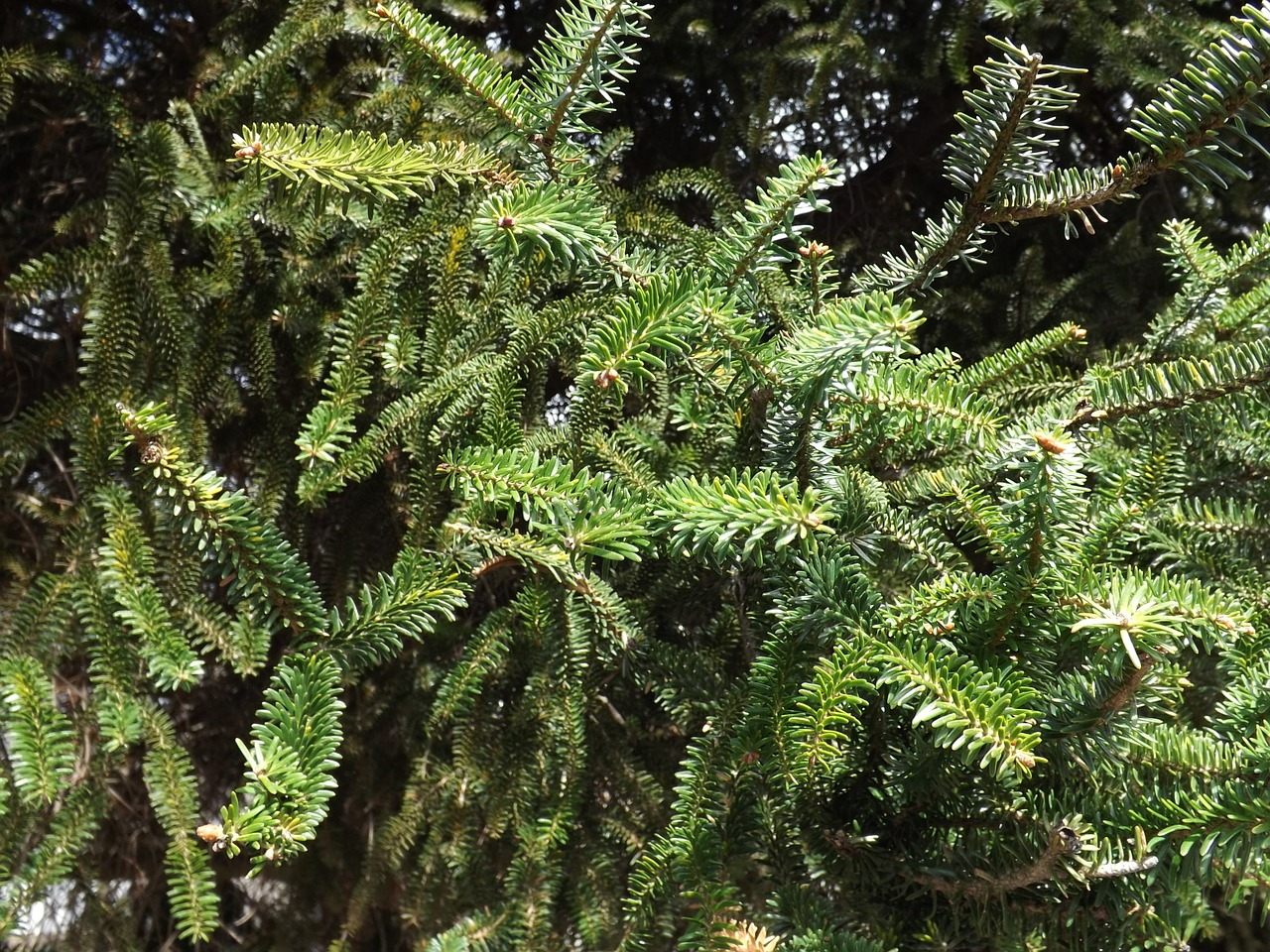 abies pinsaro,spanish fir,tree,forest,green,evergreen,fir tree,free pictures, free photos, free images, royalty free, free illustrations, public domain