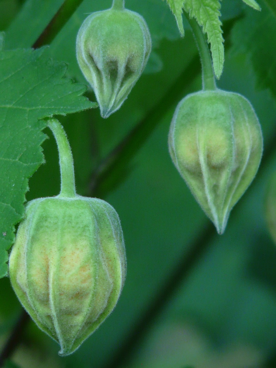 abutilon ornamental plant mallow free photo