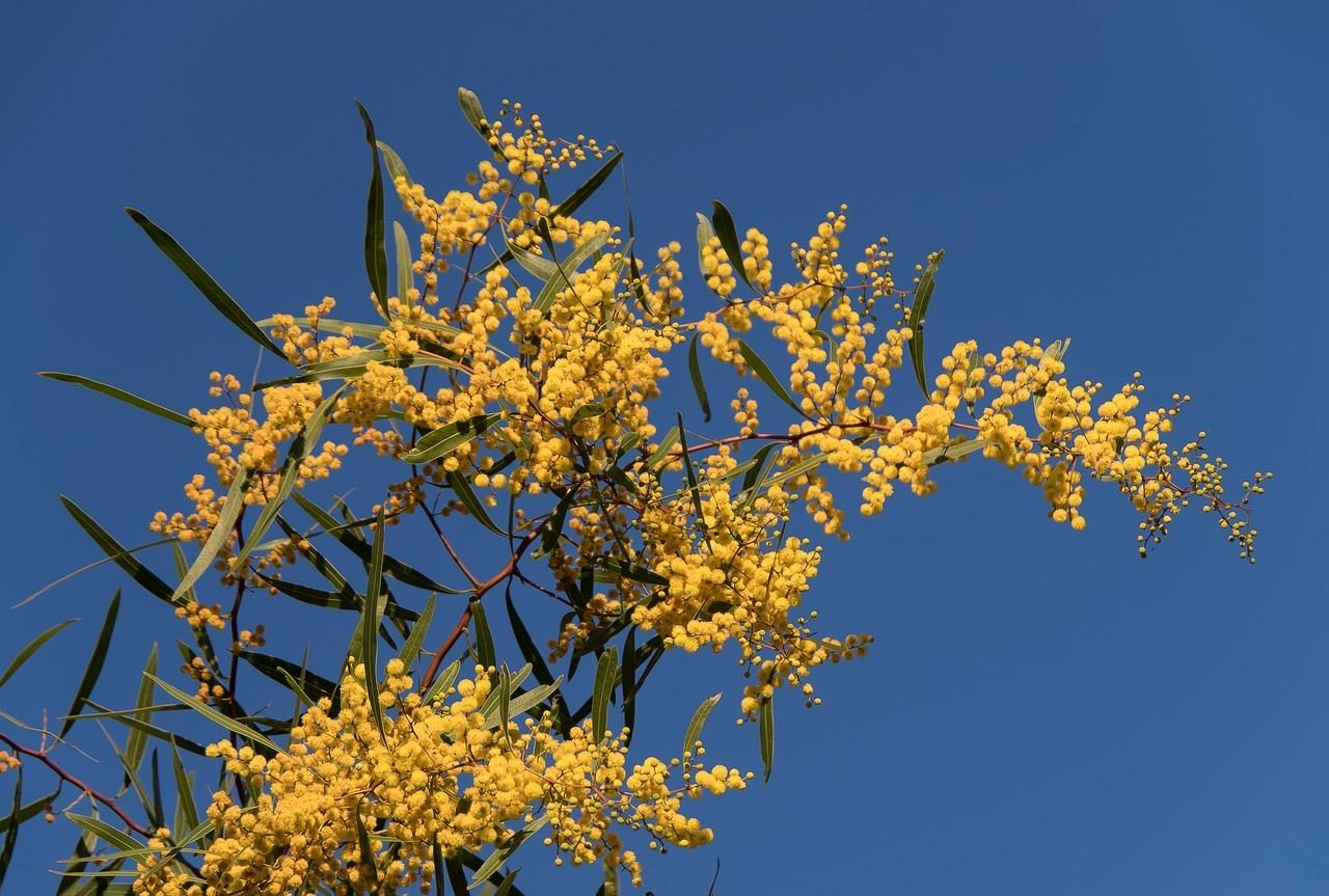 Acaciawattleflowersyellowfluffy free photo from needpix acaciawattleflowersyellowfluffyaustralian nativemanyblue mightylinksfo