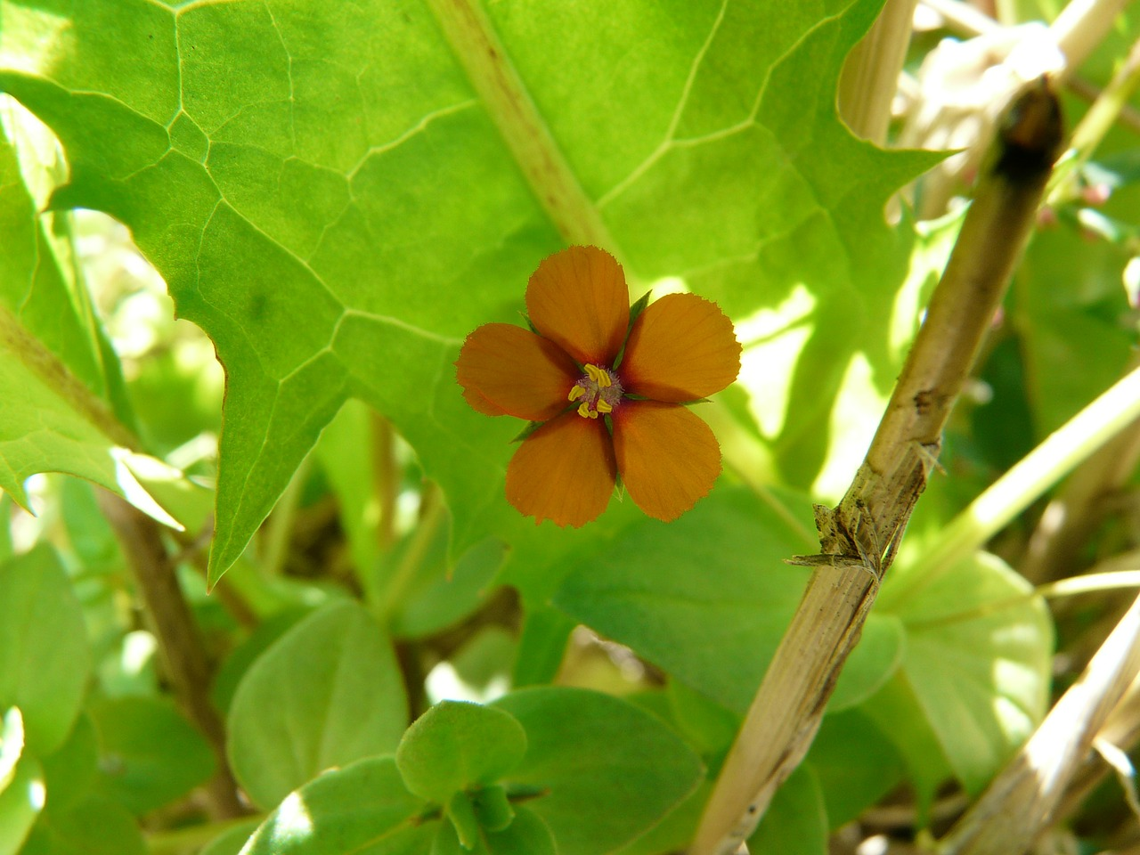 acker anagallis agricultural plant blossom free photo