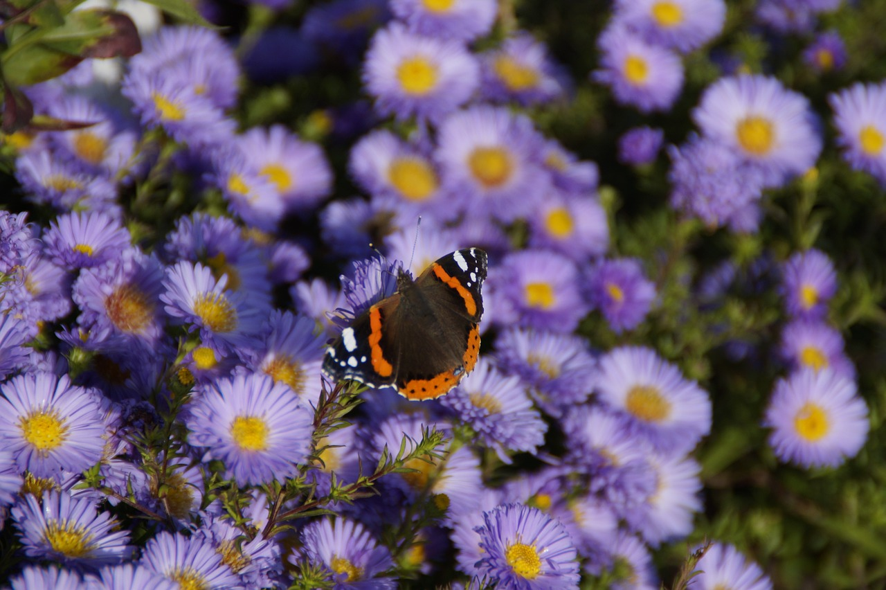 admiral butterfly on flowers free photo