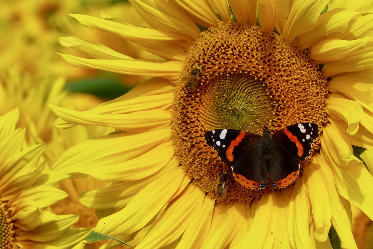 admiral butterfly sun flower free photo