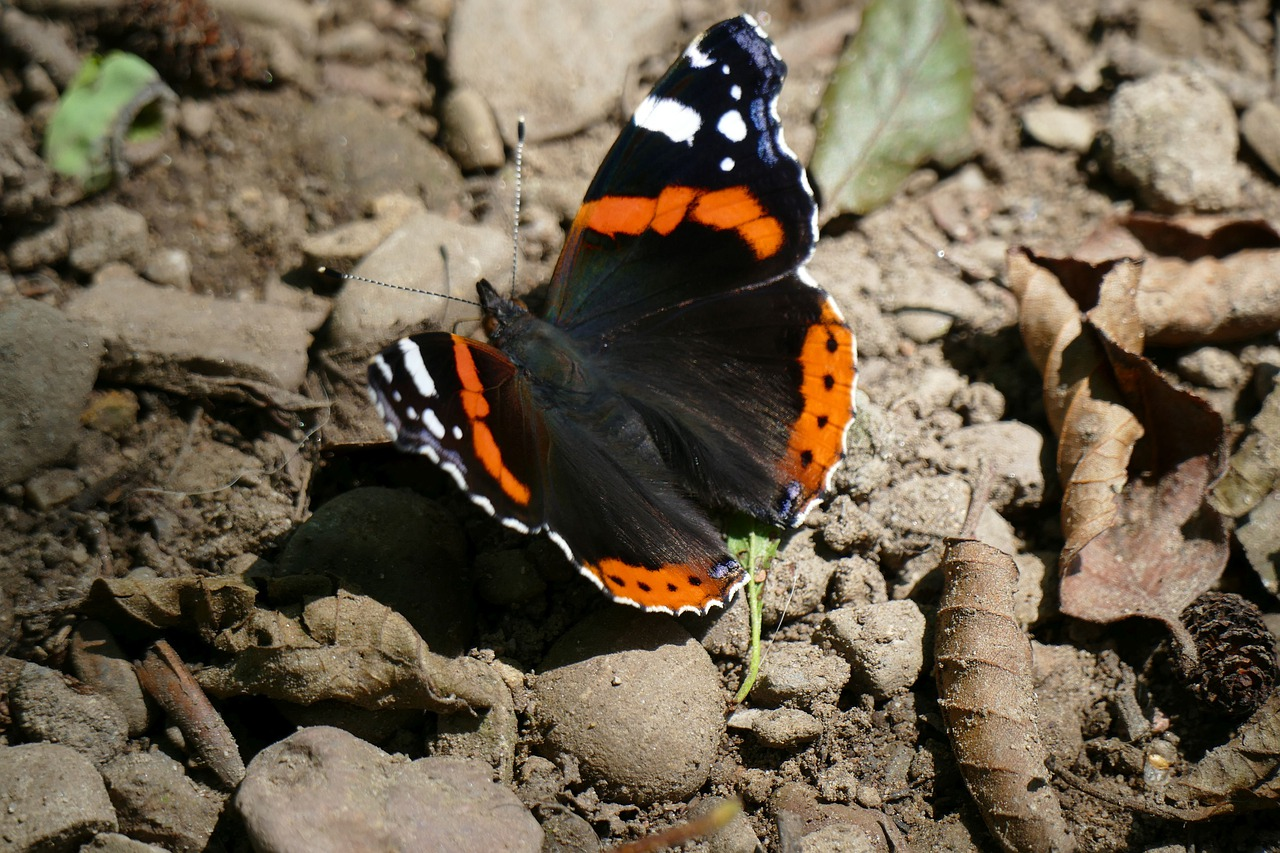 admiral  butterfly  spring free photo