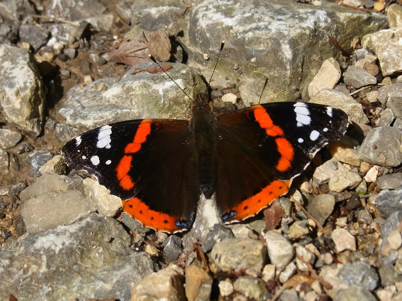 admiral vanessa atalanta butterfly free photo