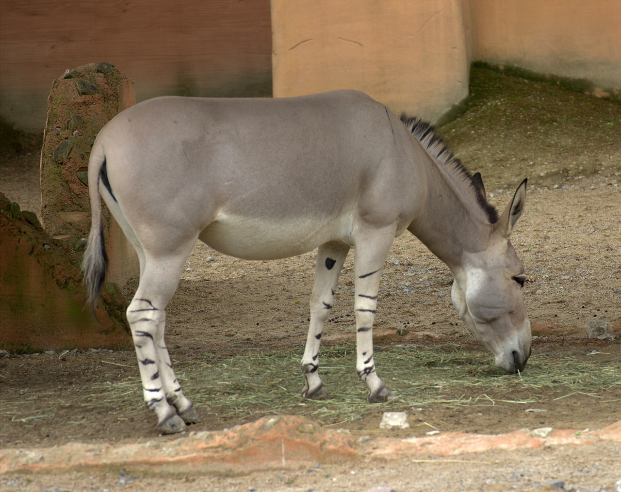 african ass wild donkeys africa free photo