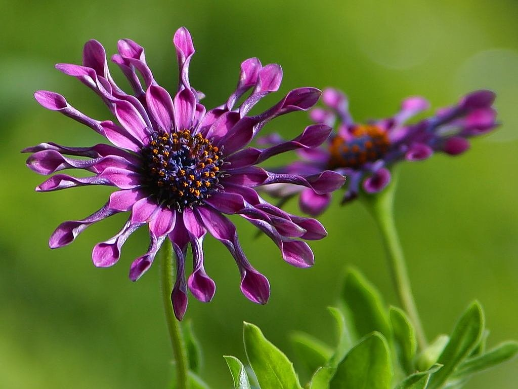 african daisy flower nature free photo