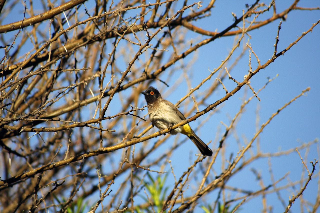 african fly catcher bird red eye free photo