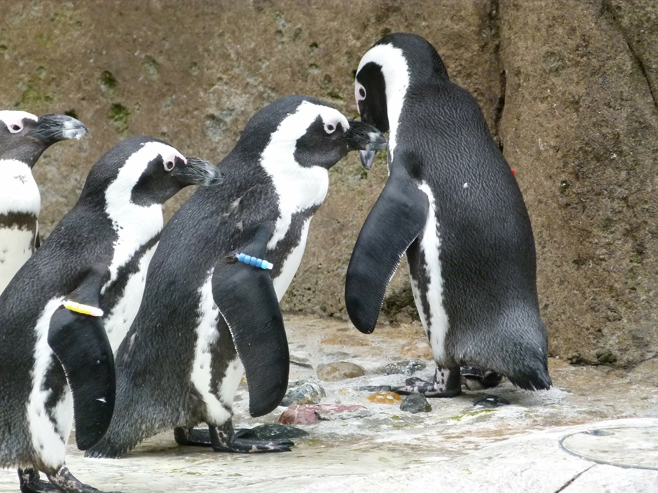african penguin aves group free photo