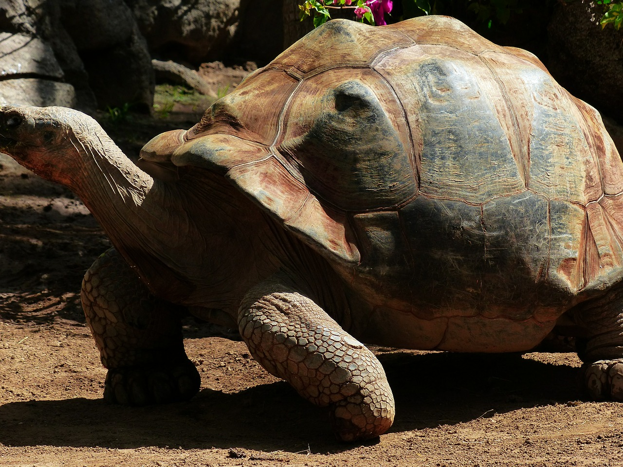 african spurred tortoise turtle large free photo