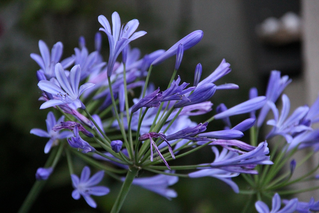 agapanthus lily blue lily free photo