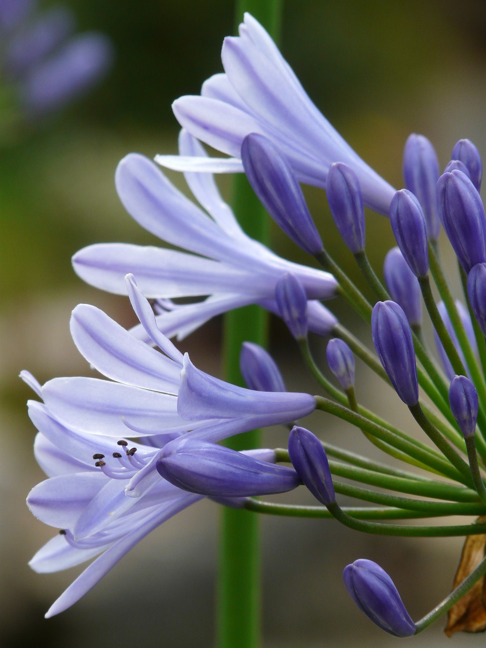 agapanthus jewelry lilies greenhouse agapanthoideae free photo