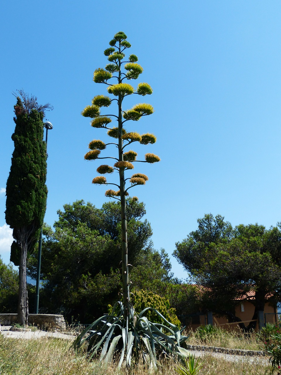 agave inflorescence agavengewächs free photo