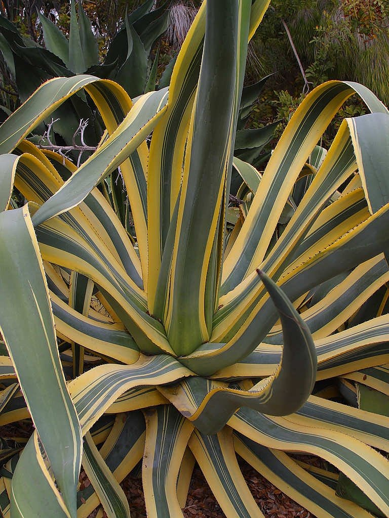 agave cactus plant free picture