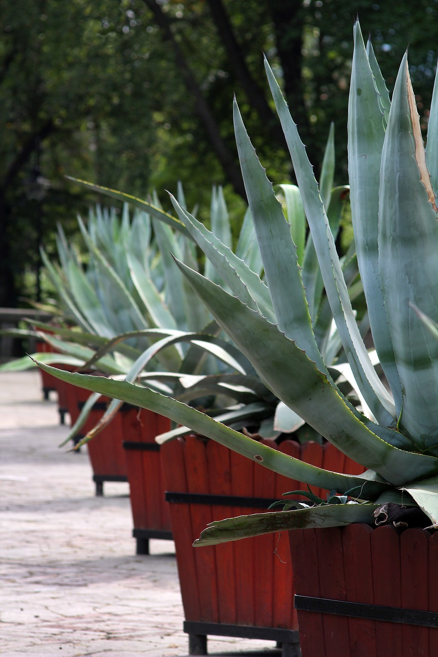 agave  cactus  plant free photo