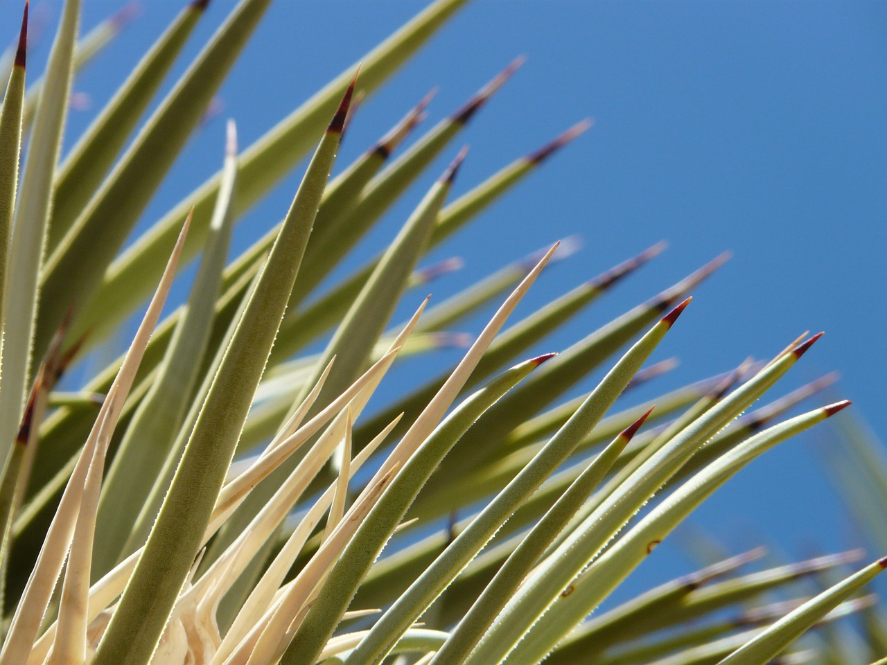 agave cactus leaves free photo