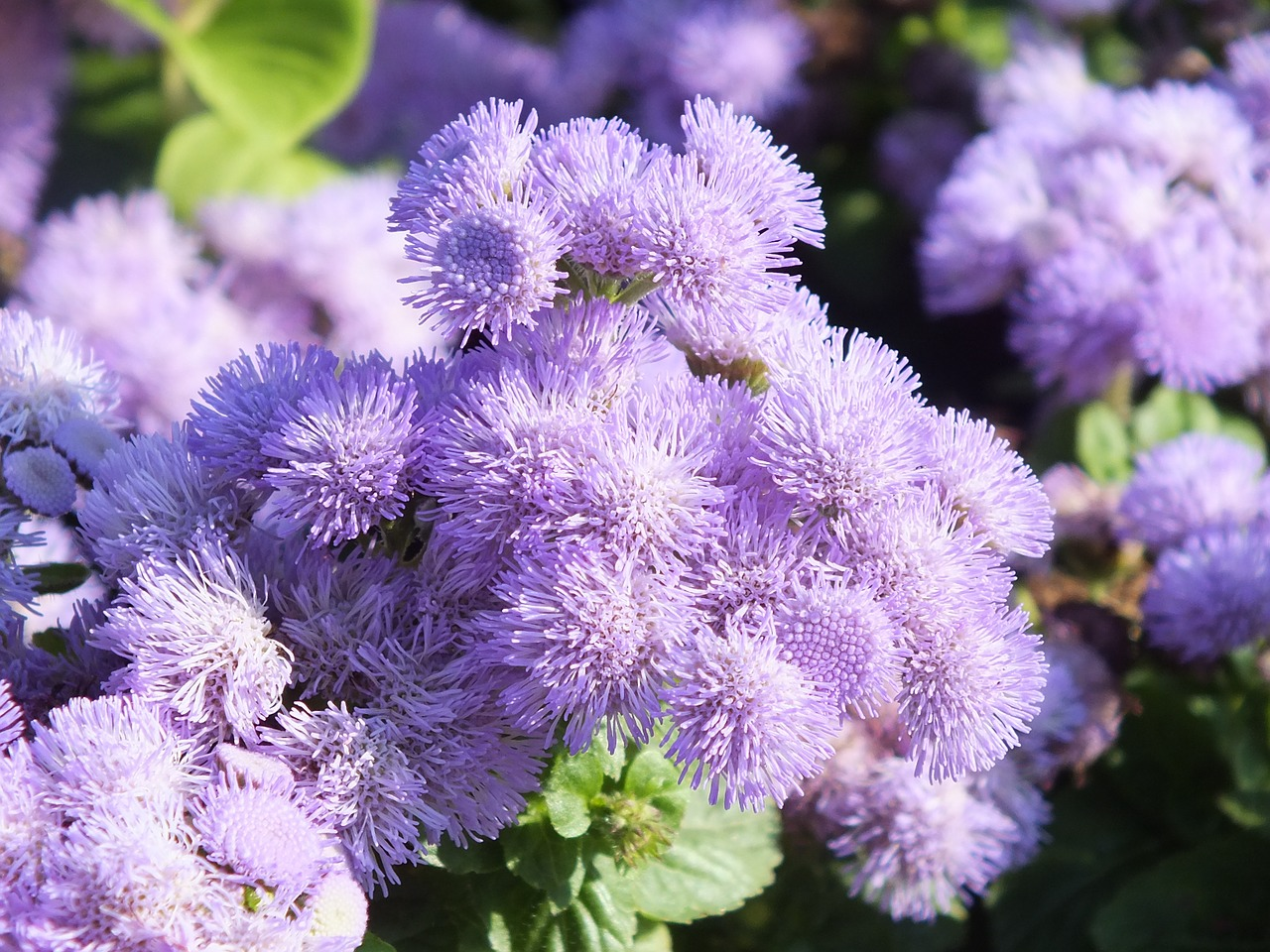 Download free photo of Ageratum,flowers,lilac,garden flowers,ageratum  conyzoides - from needpix.com