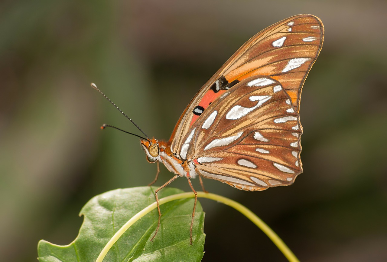 agraulis vanillae butterfly insect free photo