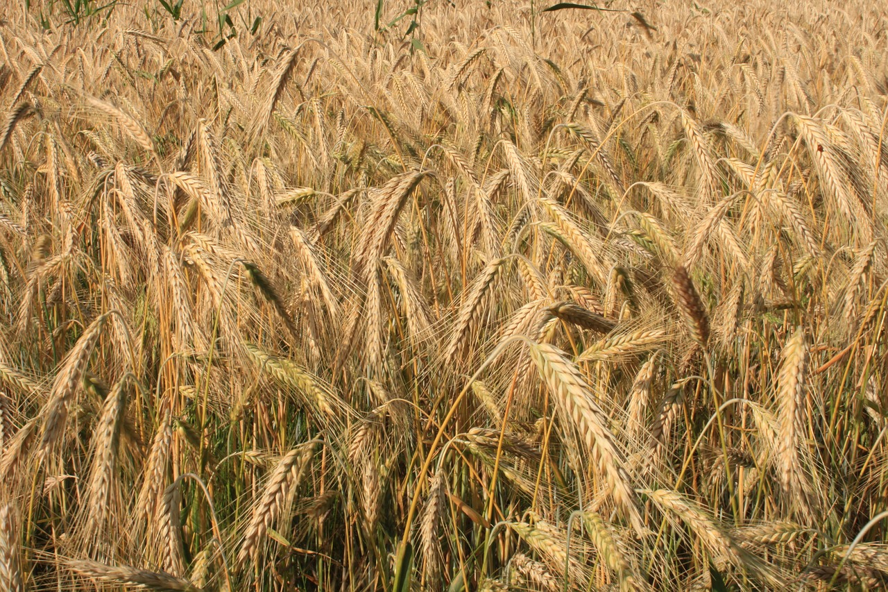 agriculture cereals curved free photo
