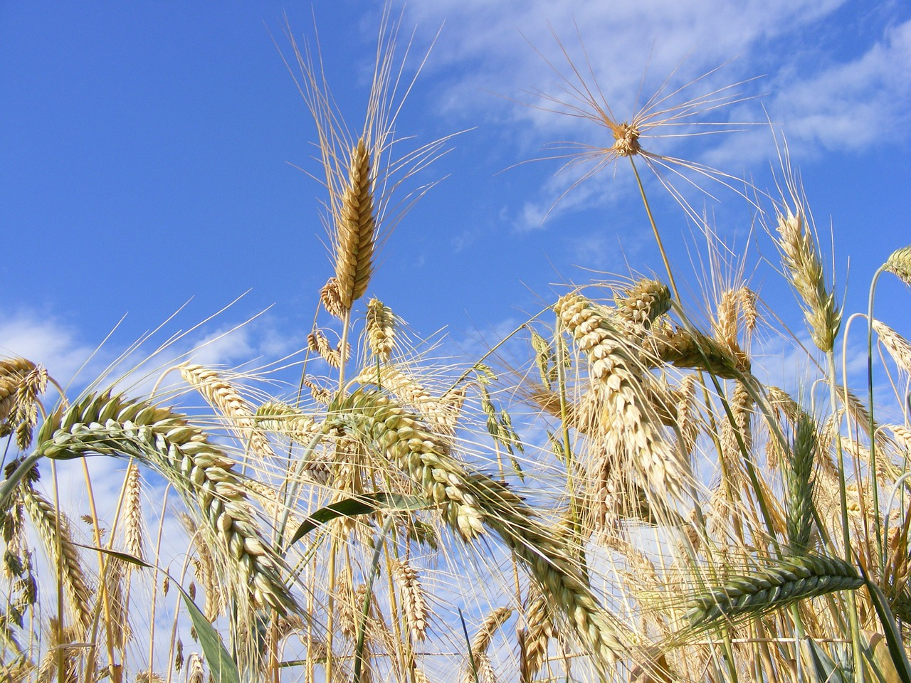 agriculture bread cereals free photo