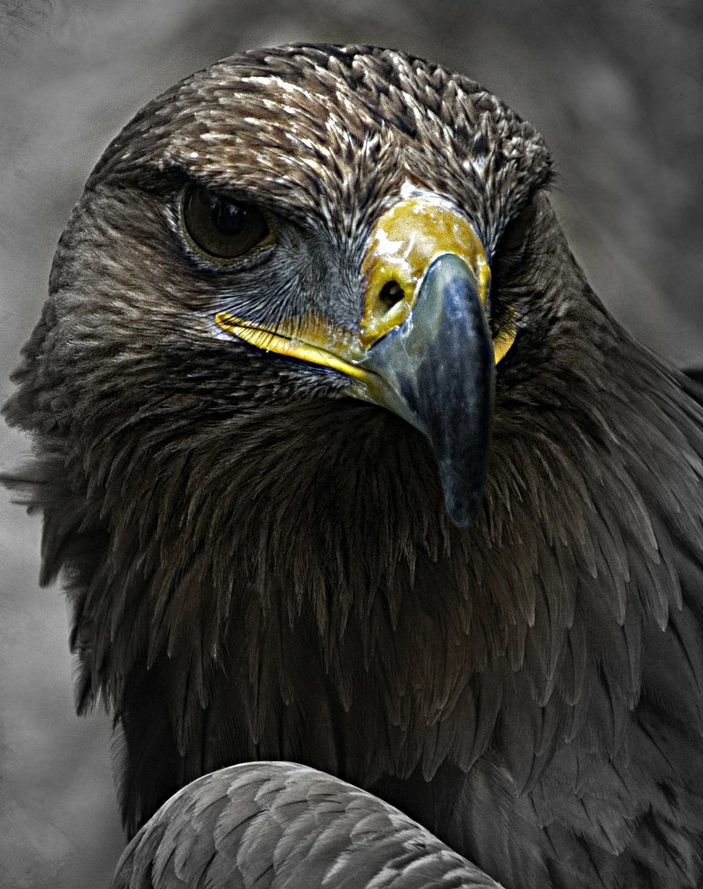 aguila bird of prey animal free photo