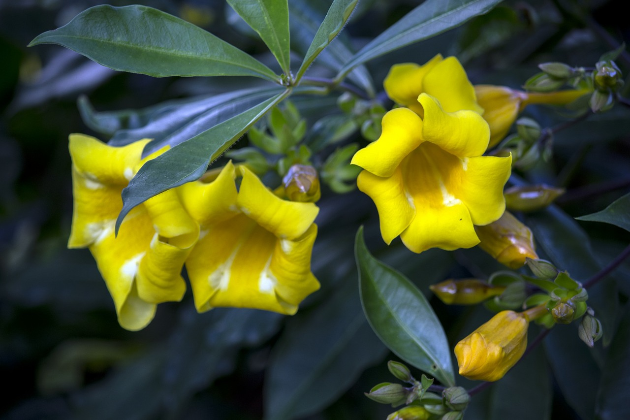 alamanda yellow yellow flower gardening free photo