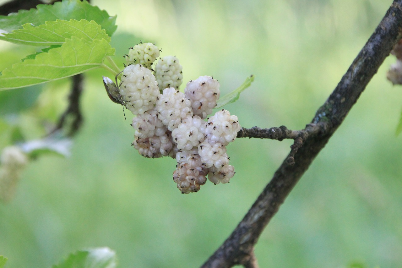 alba morus mulberry free photo