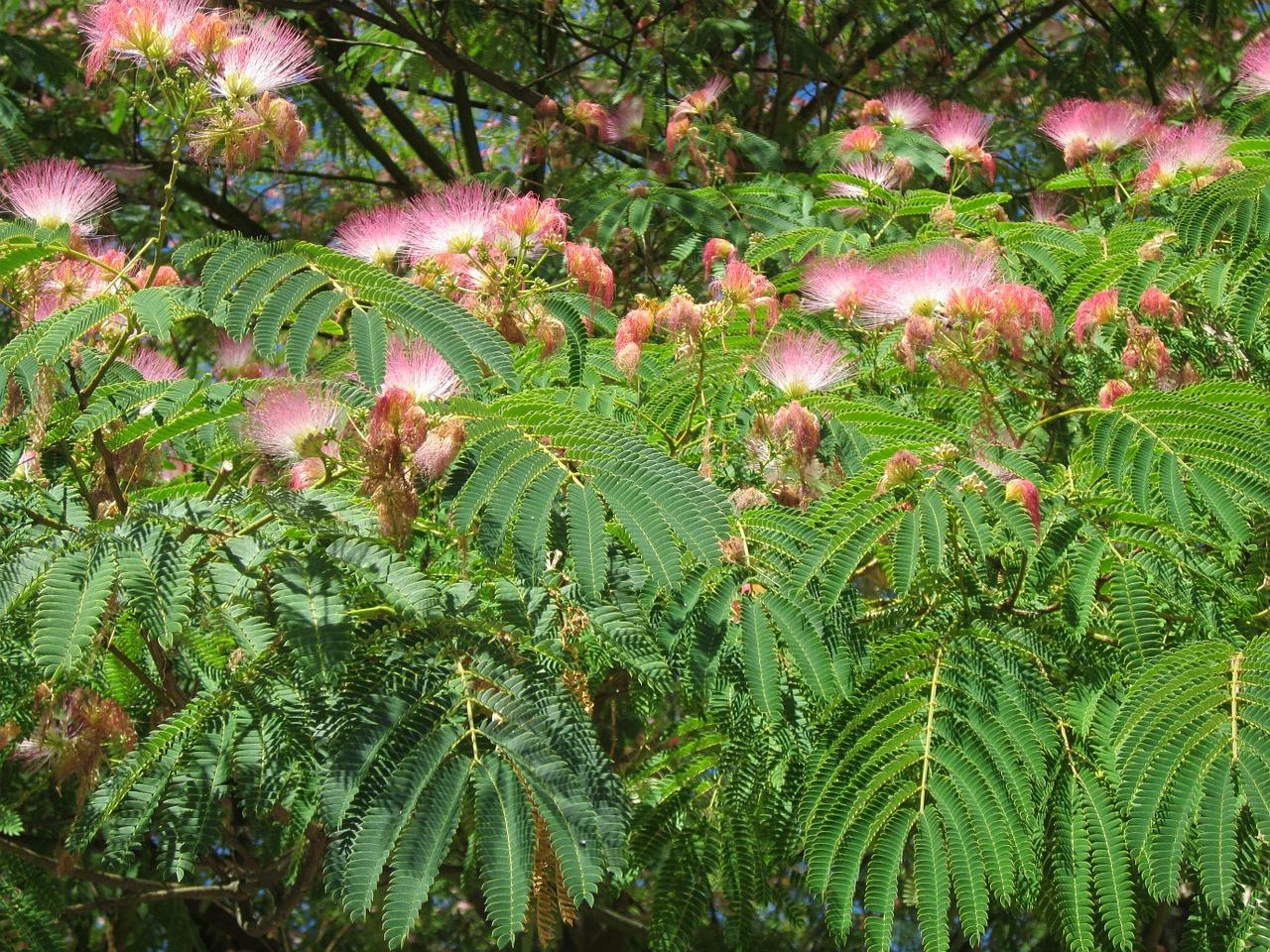 Albizia Julibrissinpersian Silk Treepink Silk Treetreesilk Tree