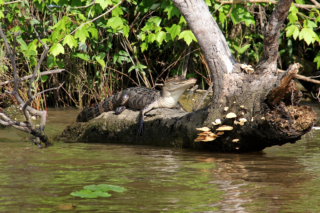 alligator swamp bayou free photo