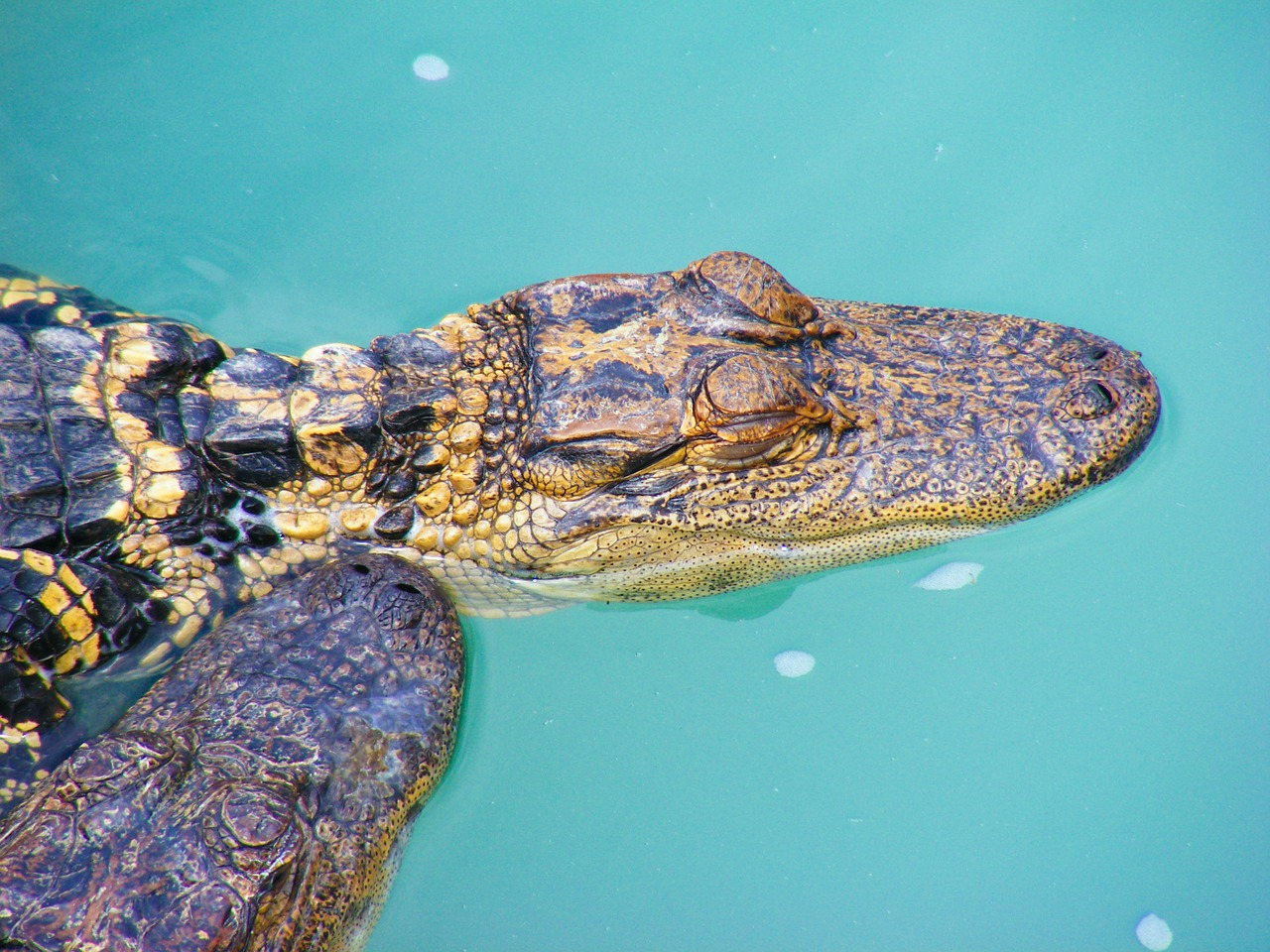 alligator reptile swamp free photo