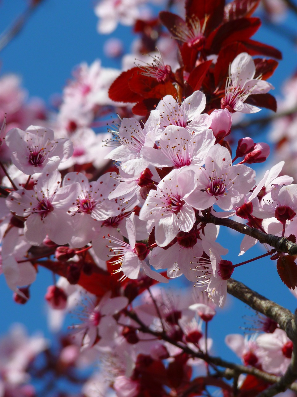 almond blossom cherry blossom japanese cherry trees free picture