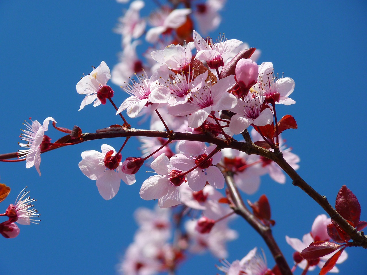 almond blossom cherry blossom japanese cherry trees free photo