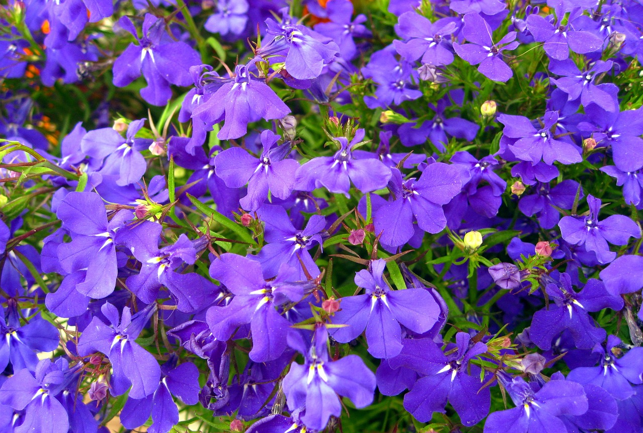 although,praise lien,blue,flowers,blue flowers,small flowers,ornamental plant,lobelia,flower,gorgeous,farbenpracht,summer,plant,beautiful,free pictures, free photos, free images, royalty free, free illustrations, public domain