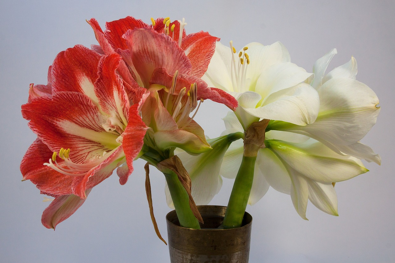 amaryllis red white free photo