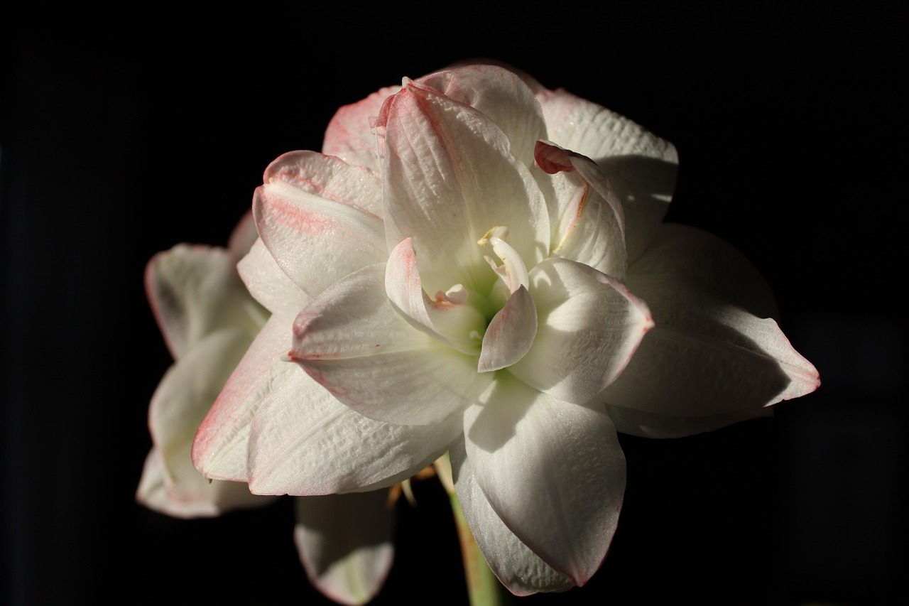 amaryllis,flower,blossom,bloom,white,pink,amaryllis plant,close,flora,plant,nature,early,gorgeous,free pictures, free photos, free images, royalty free, free illustrations, public domain
