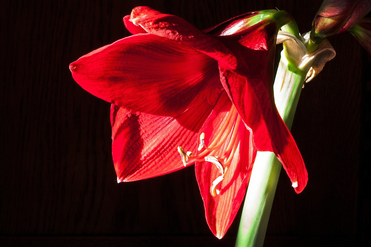 amaryllis red flowers free photo
