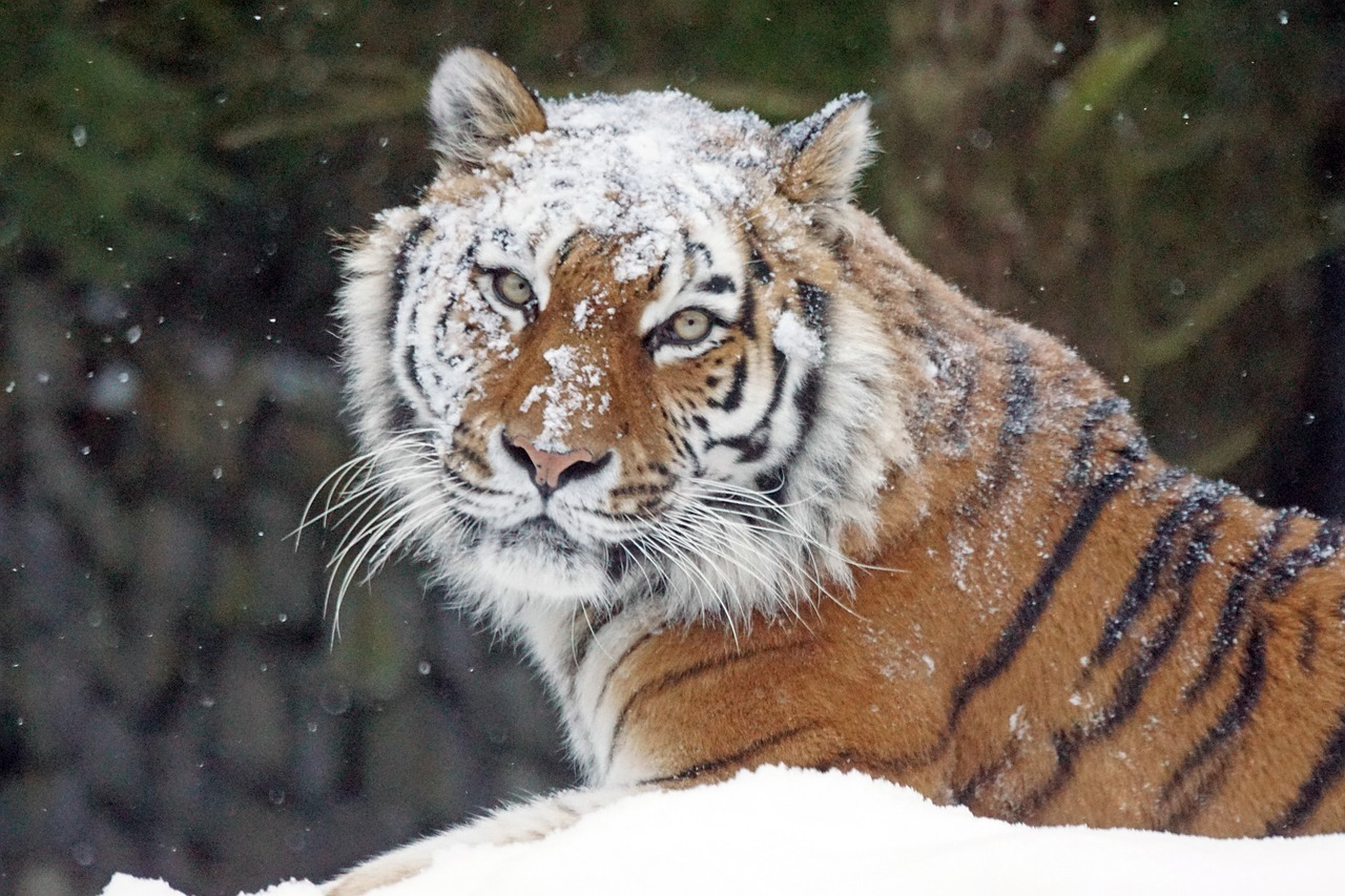 amurtiger big cat cat free photo