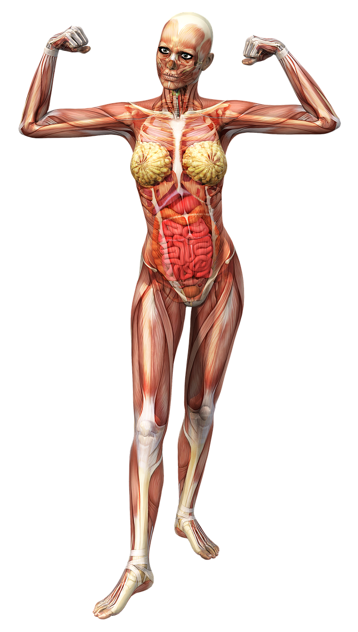 Anatomyfemalemusclesskeletontissue Free Photo From Needpix