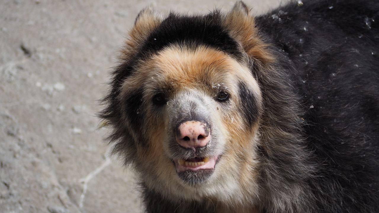 andean bear spectacled bear bear free photo