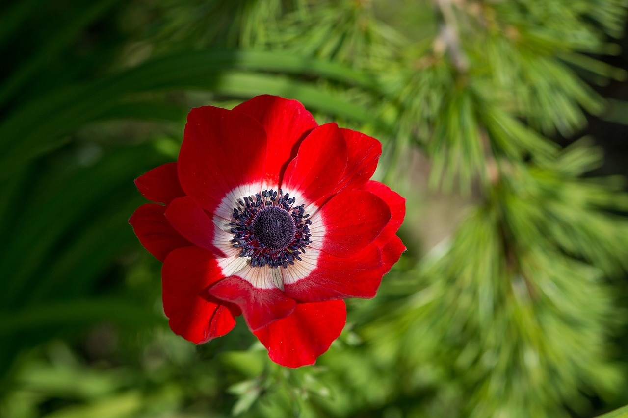 anemone,red,red anemone,flower,red flower,blossom,bloom,