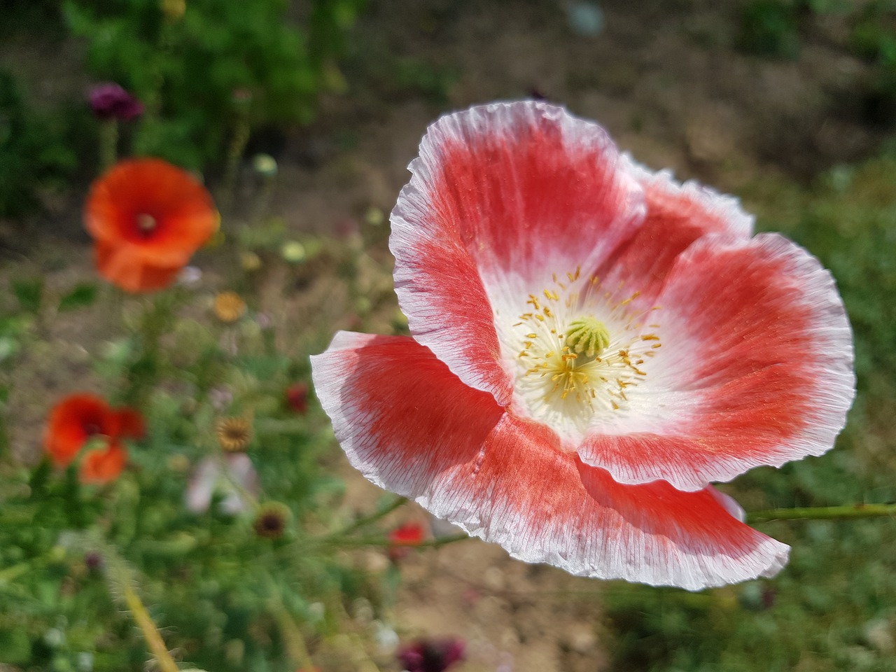 anemone, summer flower summer image, summer posters, picture poetry, red, rotweiss, romance, summer romance, flower garden, natural lawn, pointed flower, blossom, bloom, coloring pages,free pictures, free photos, free images, royalty free, free illustrations, public domain