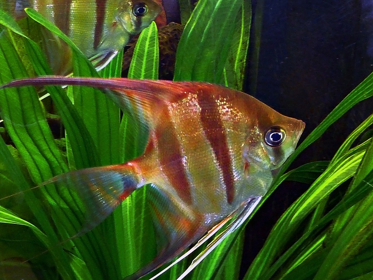 angel fish ornamental fish water free photo