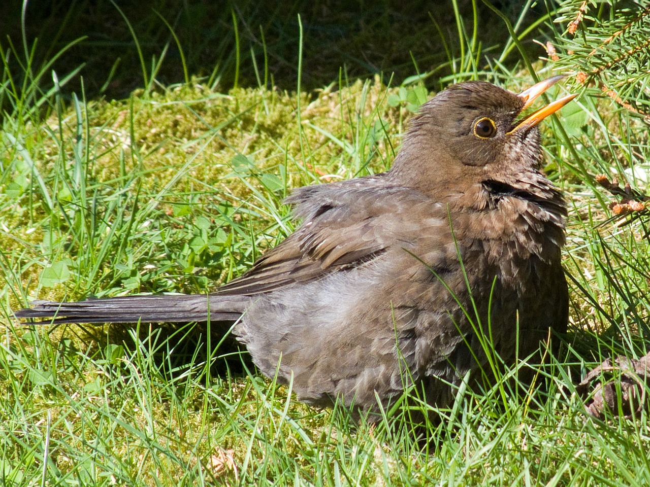 animal,bird,blackbird,young bird,young,young animal,free pictures, free photos, free images, royalty free, free illustrations, public domain