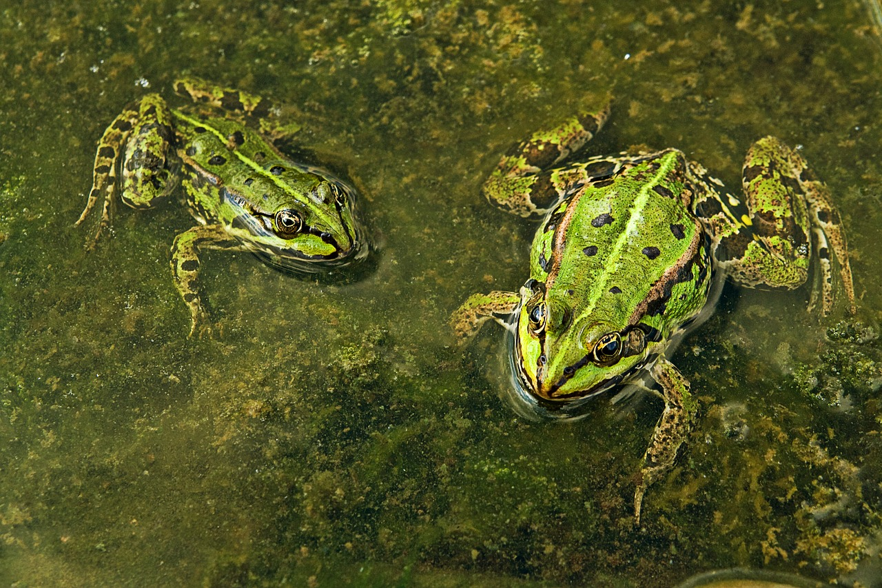 animal,the frog,water,amphibians,green,the creation of,free pictures, free photos, free images, royalty free, free illustrations