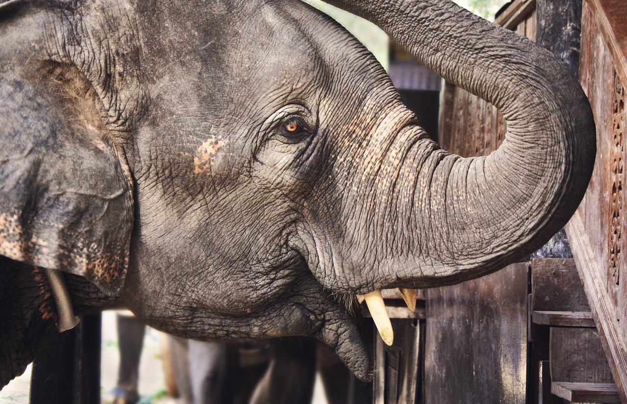 animal,close-up,elephant,elephant trunk,elephant tusks,ivory,wildlife,zoo,free pictures, free photos, free images, royalty free, free illustrations, public domain