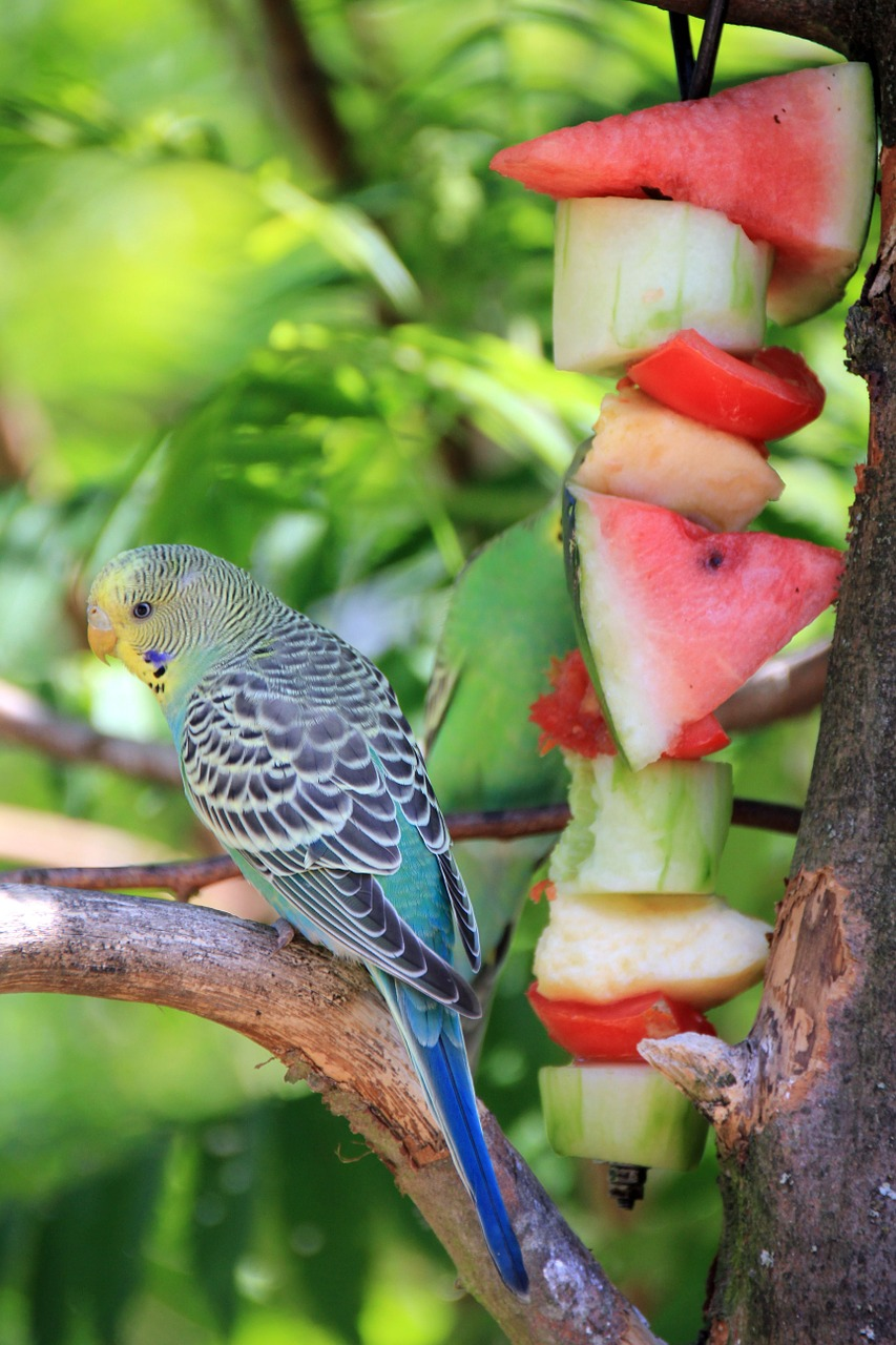 animal bird budgie free photo