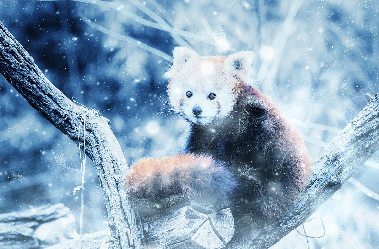 animal,red panda,snow,art,vintage,winter,nature,decorative,free pictures, free photos, free images, royalty free, free illustrations