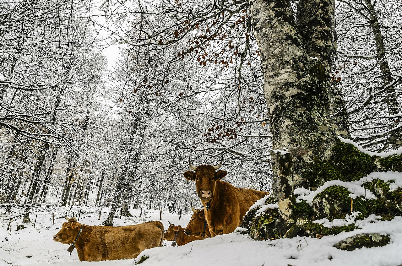 animal,cows,mammal,domestic,farm animals,rural,livestock,ranch,domestic animals,season,white,cold,ice,snow,winter,frost,snowy,frozen,outdoor,weather,snowfall,cool,frosty,snowstorm,blizzard,snow-storm,free pictures, free photos, free images, royalty free, free illustrations, public domain