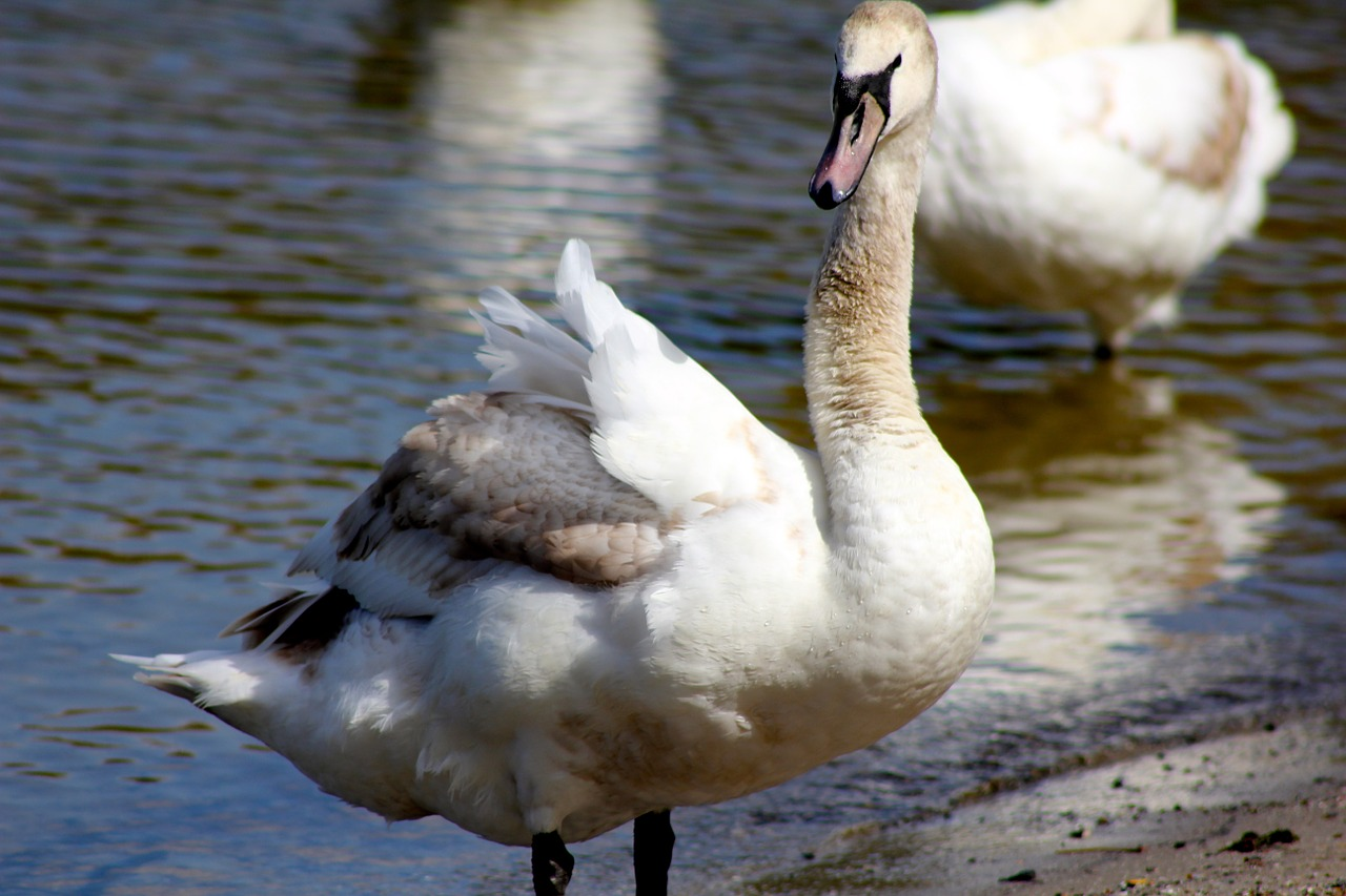 animal bird swan free photo